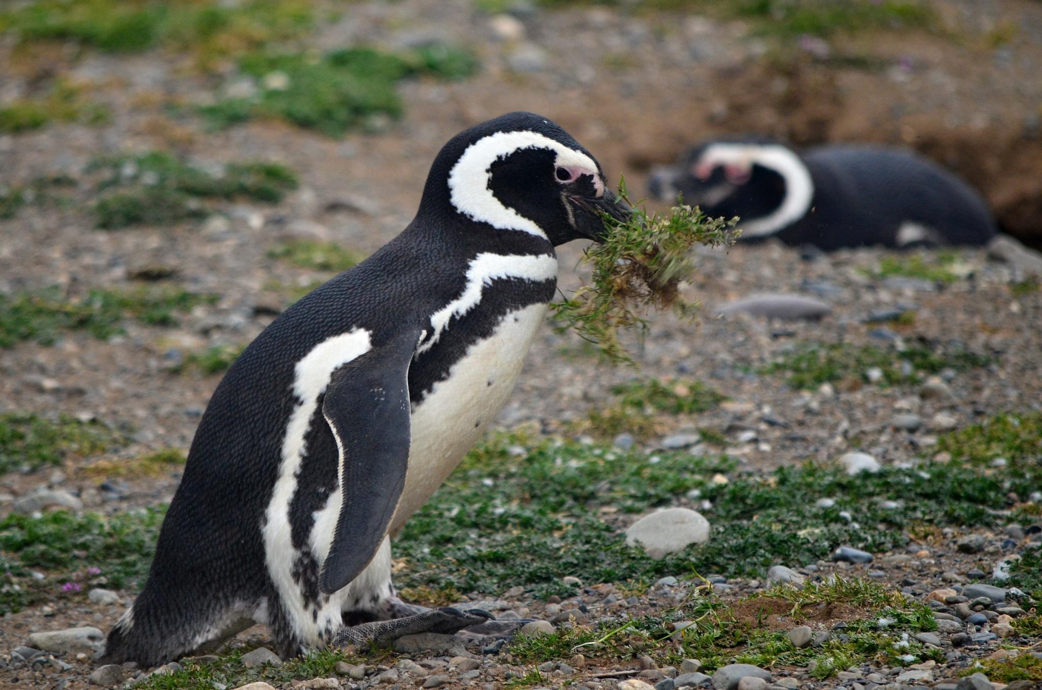 Tučňák magellanský sbírá materiál pro vystlání hnízda