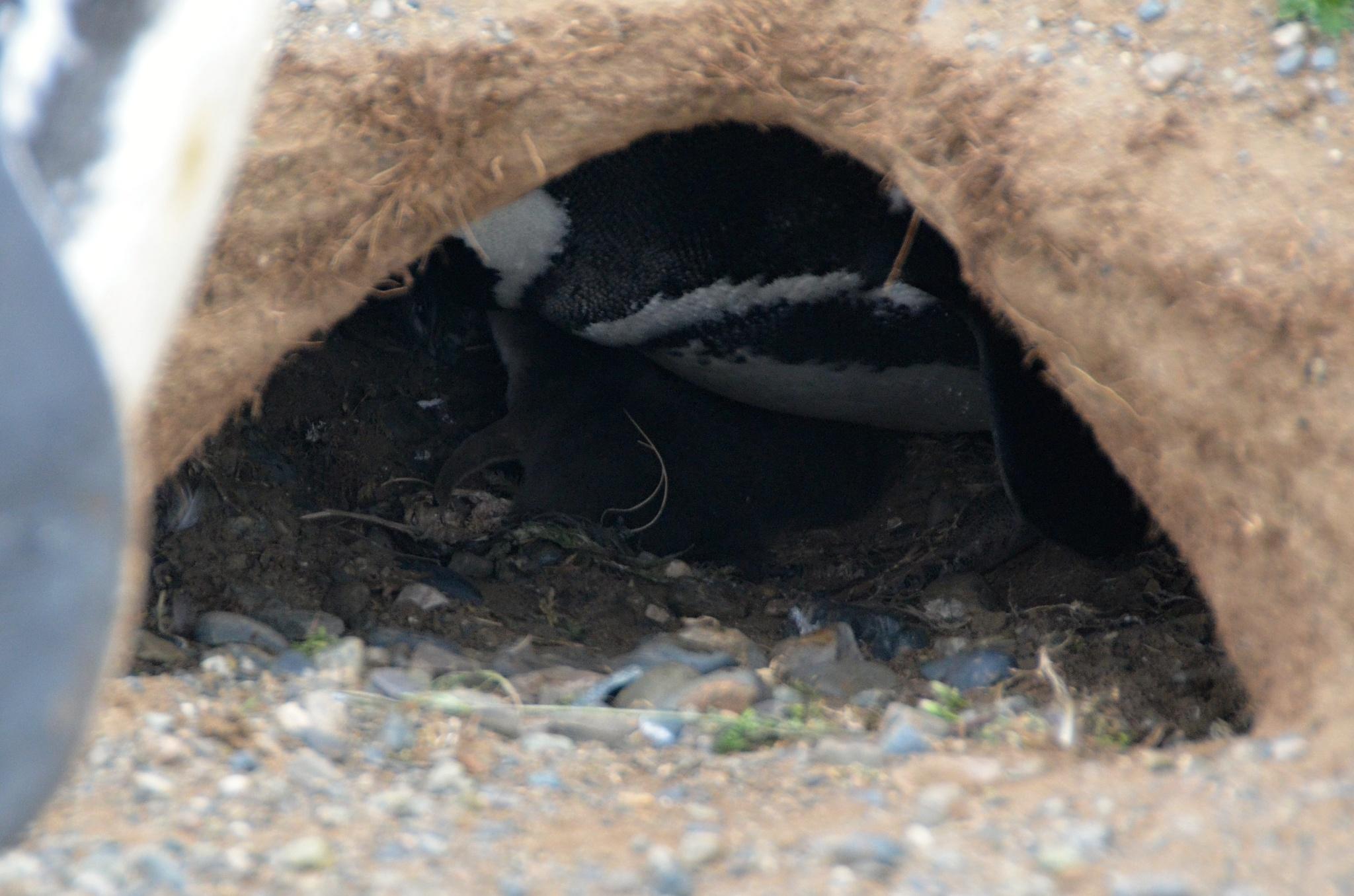 Když se dobře podíváte, uvidíte miminko tučňáka