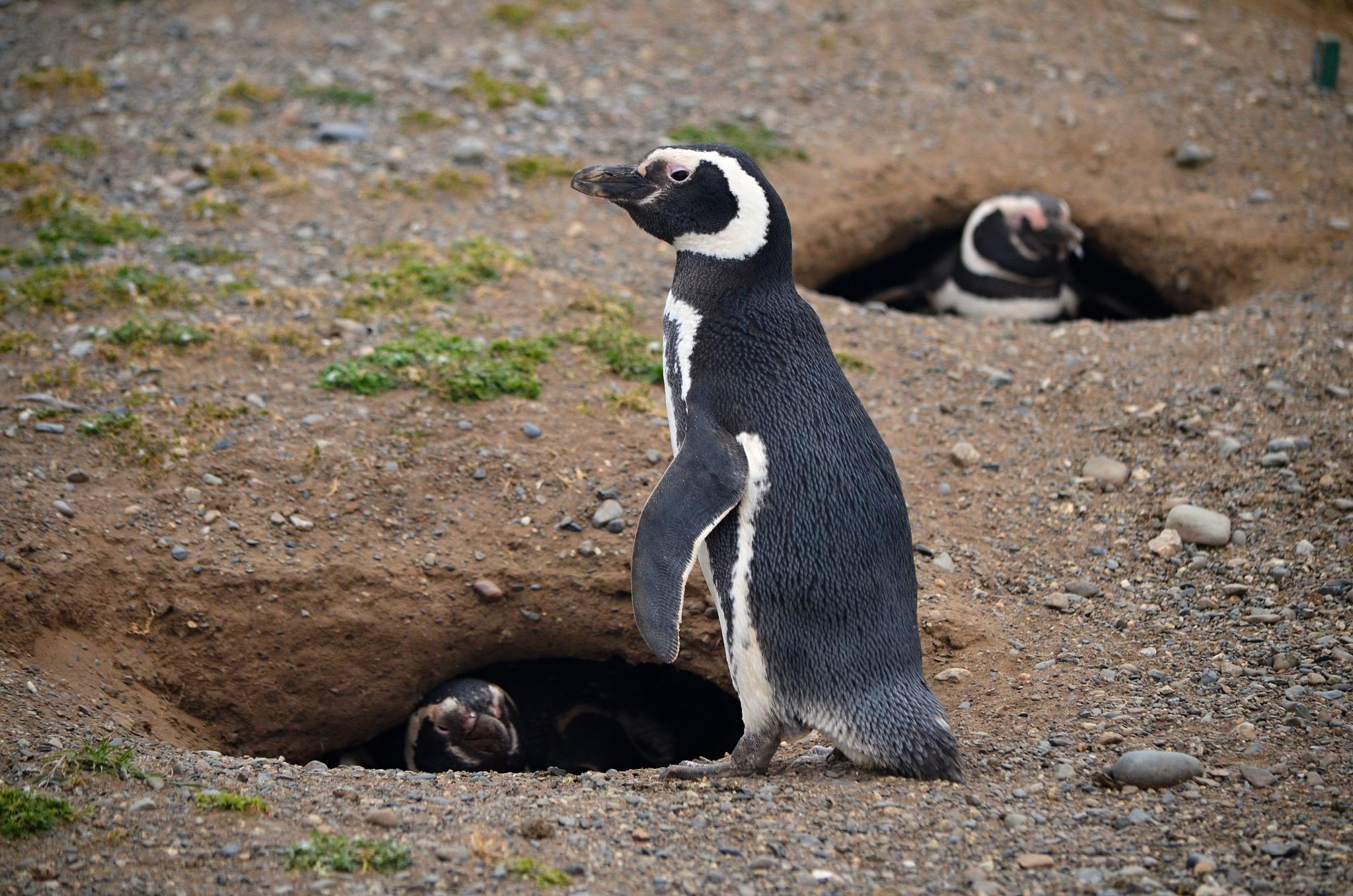 Tučňák magellanský a další dva v hnízdech