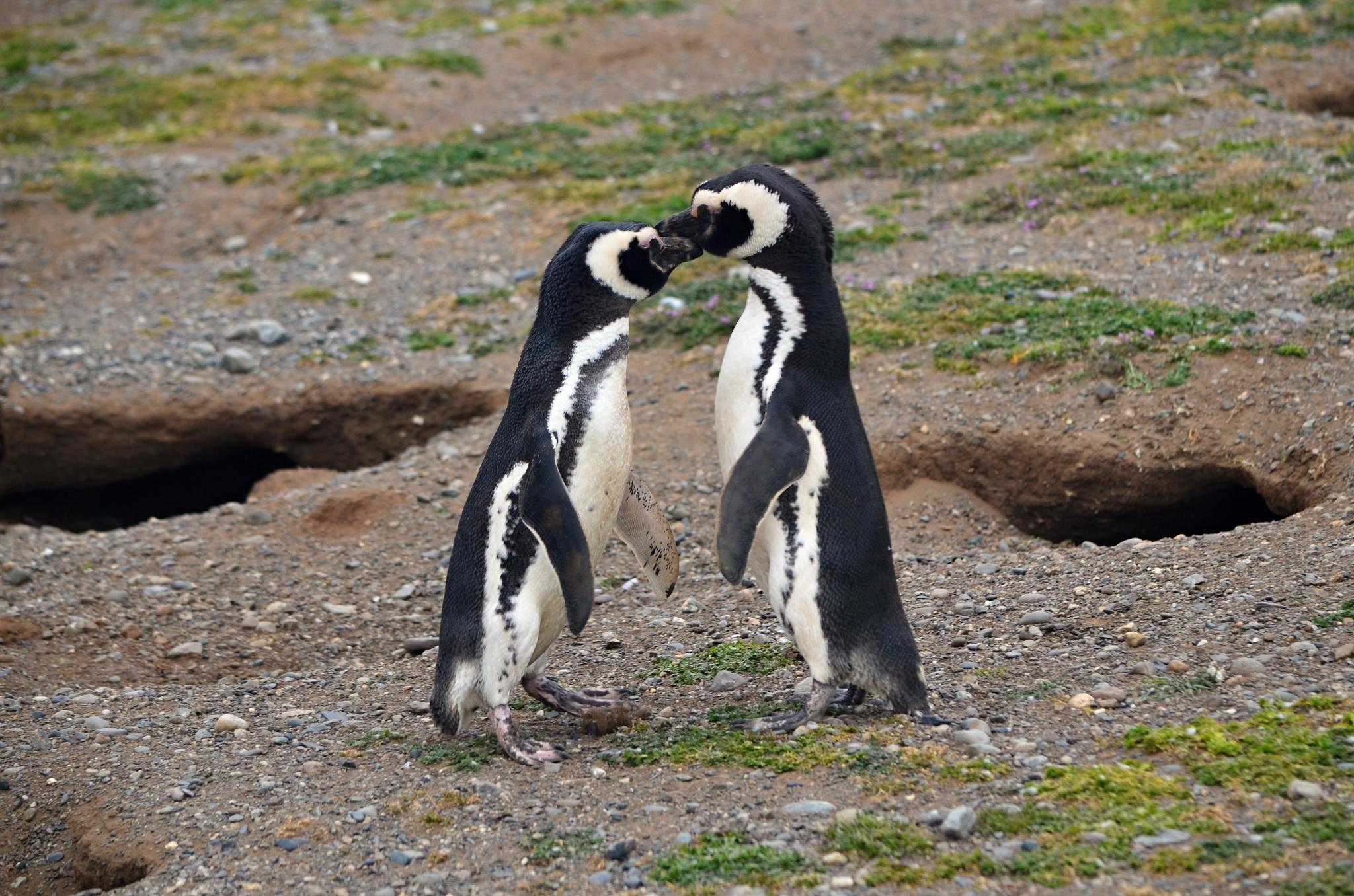 Líbající se tučňáci