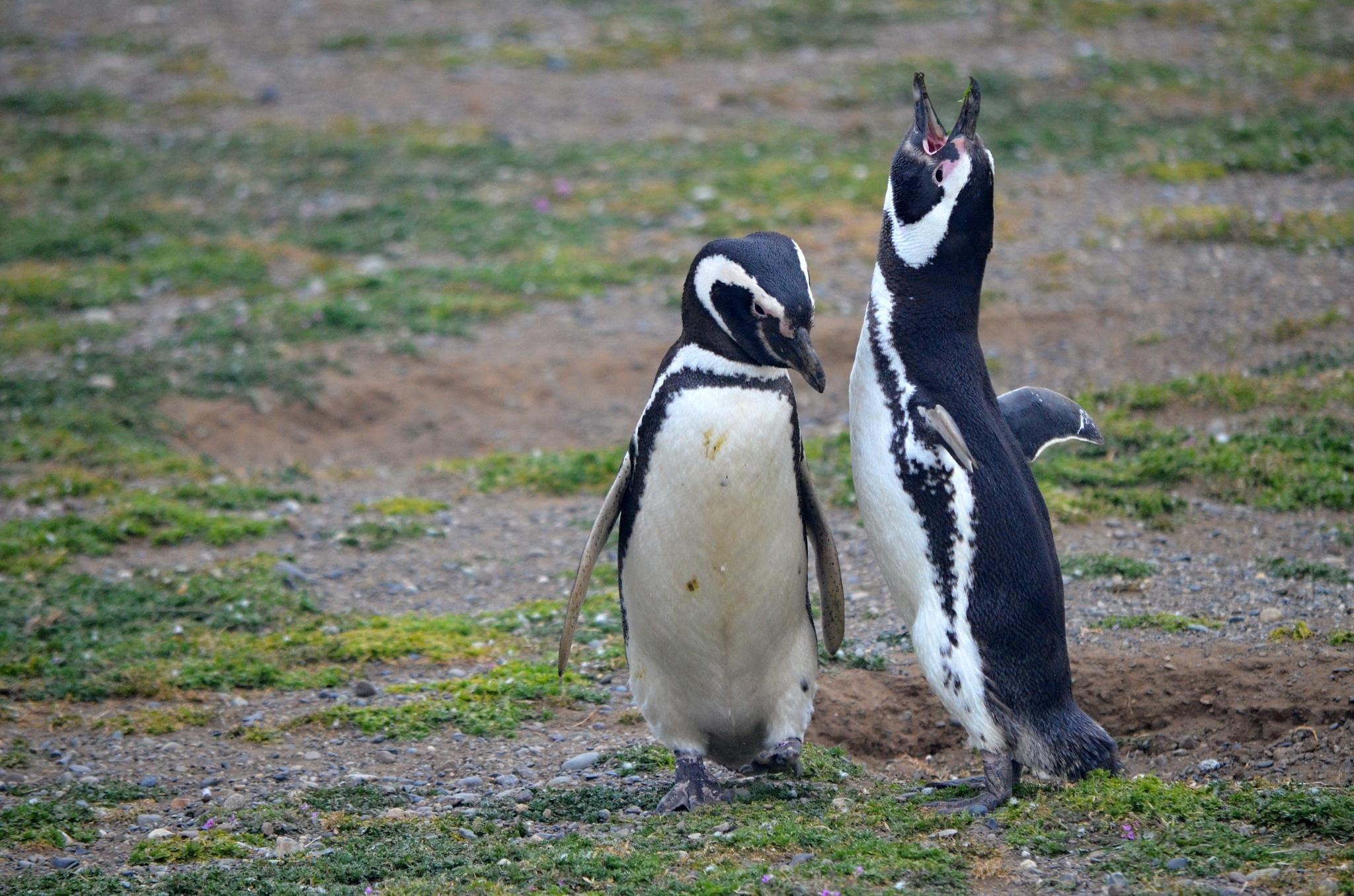 Dvojice tučňáku, jeden právě hýká