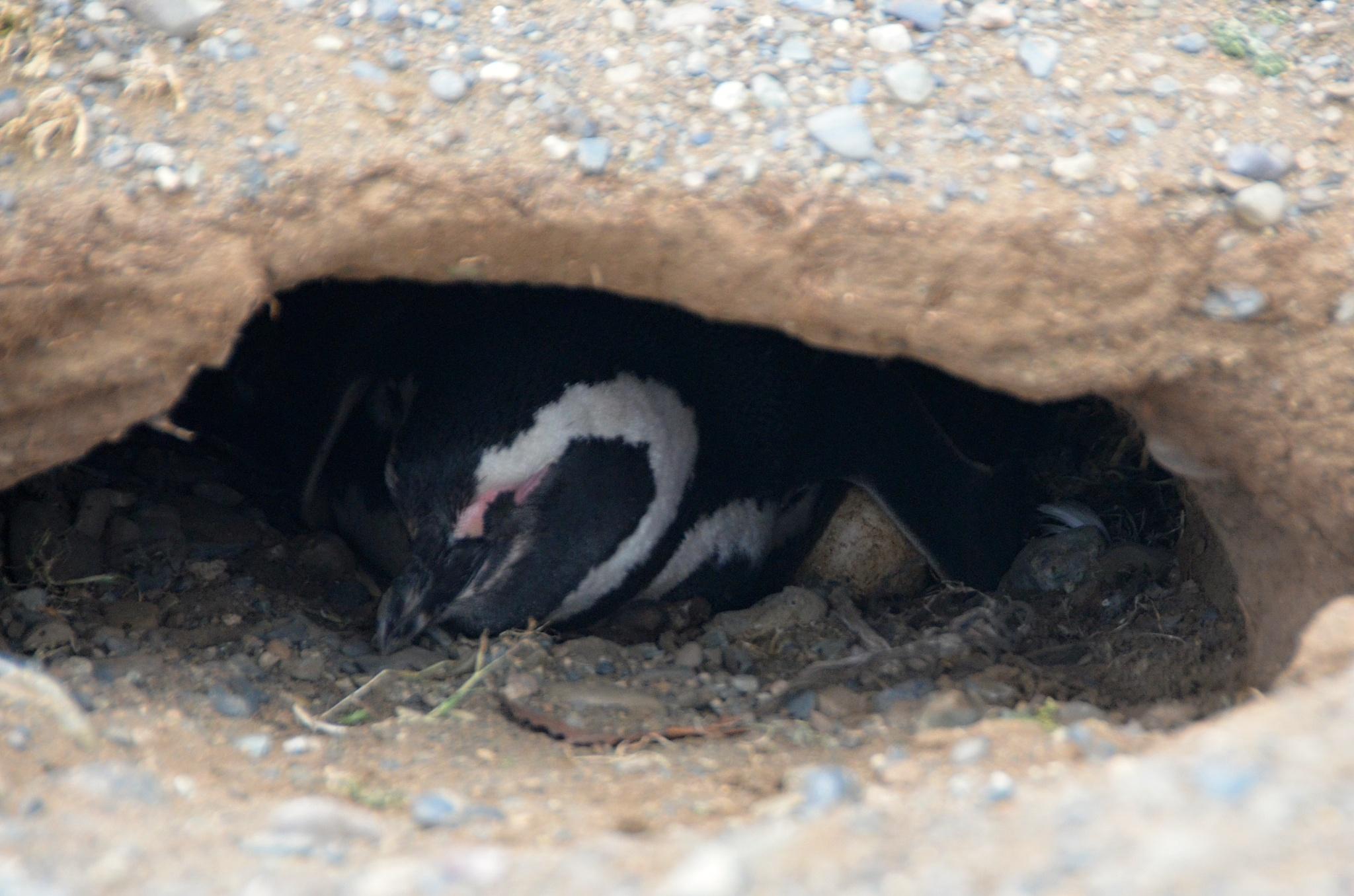 Tučňák v hnízdě