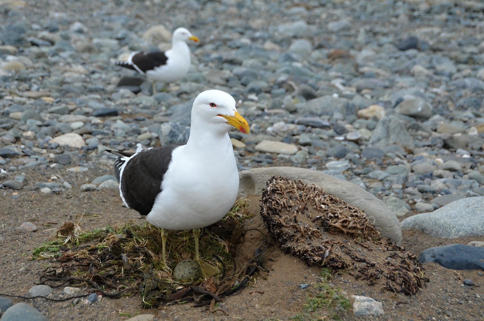 Albatros bránící své místo. A pěkně nám nadával!