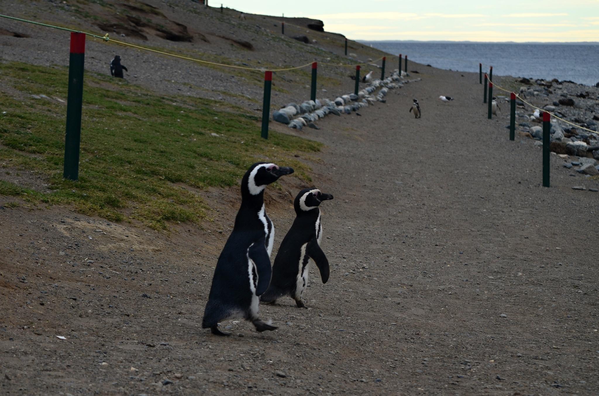 Tučňáci míří k moři
