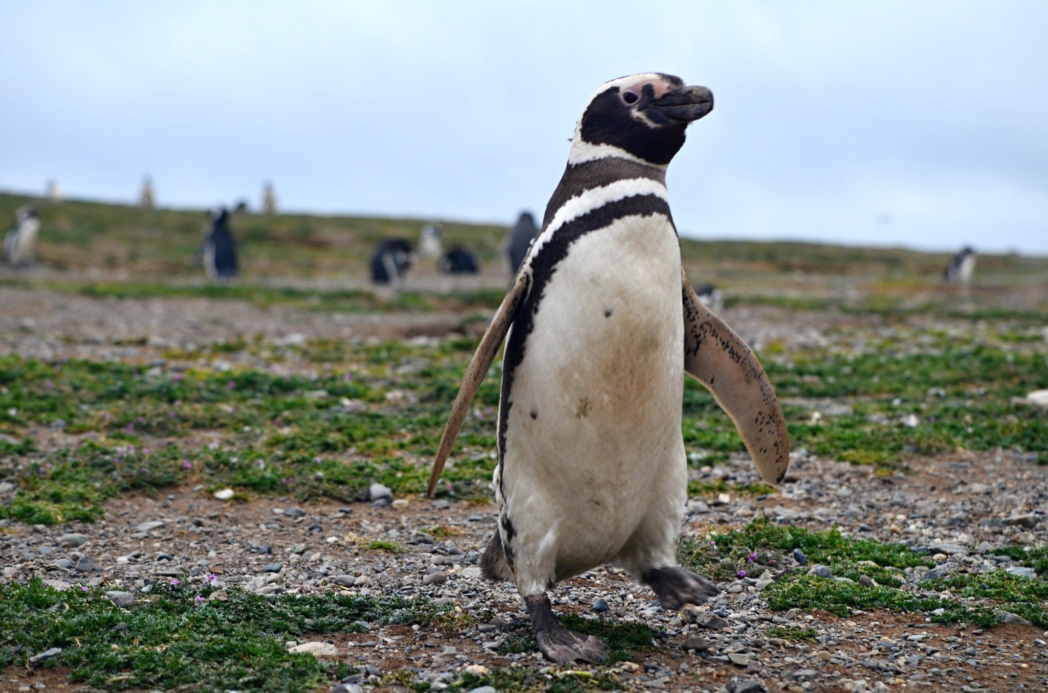 Sprintující tučňák