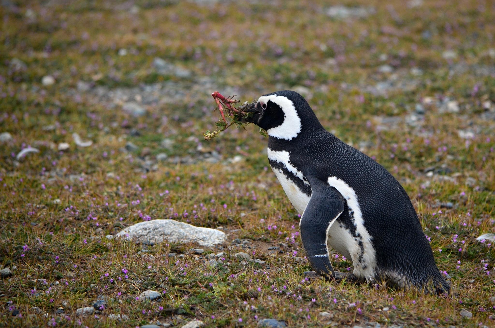 Tučňák shání něco do hnízda