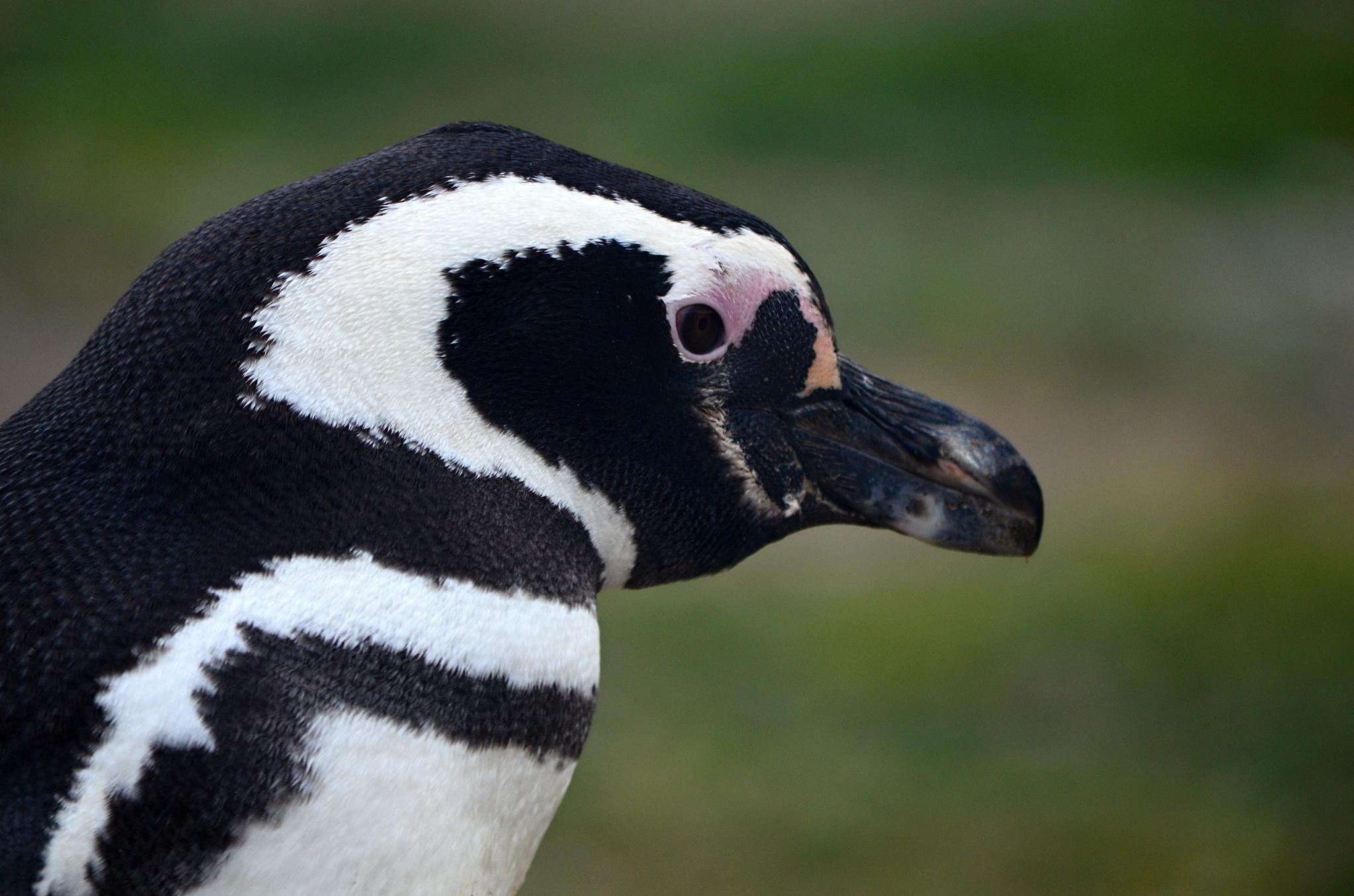 Detail na hlavu tučňáka magellanského