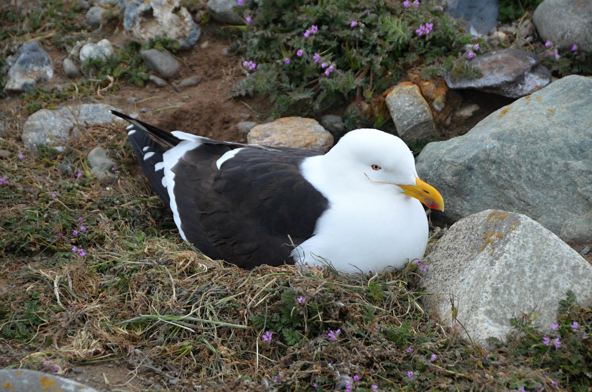 Hnízdící albatros