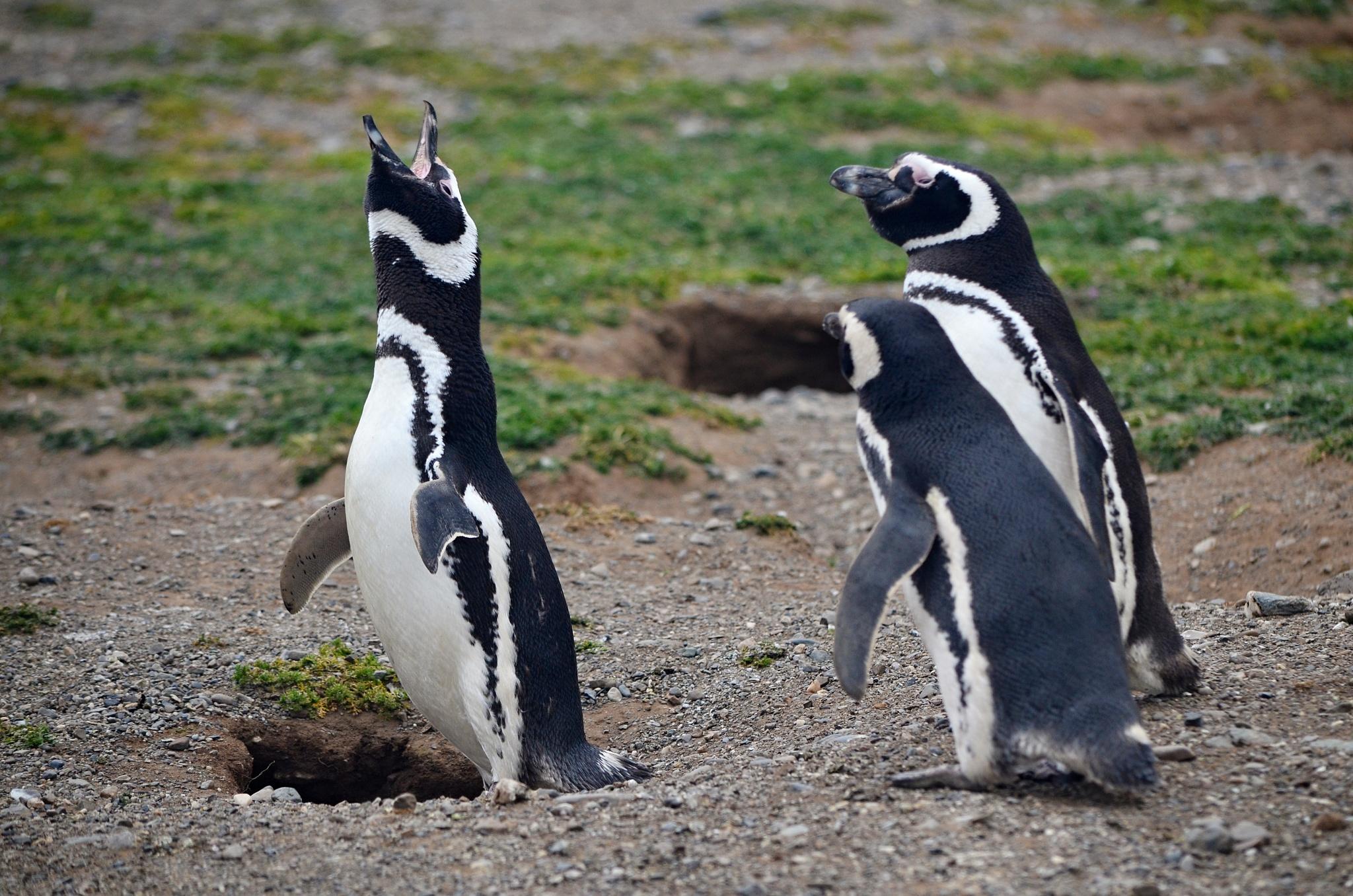 Hýkající tučňák s obecenstvem