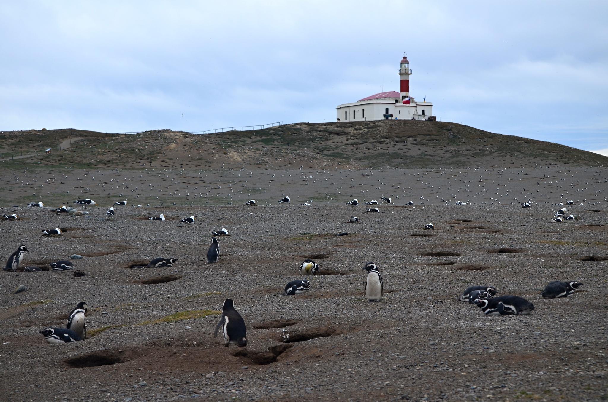 Tučňáci na Isla Magdalena