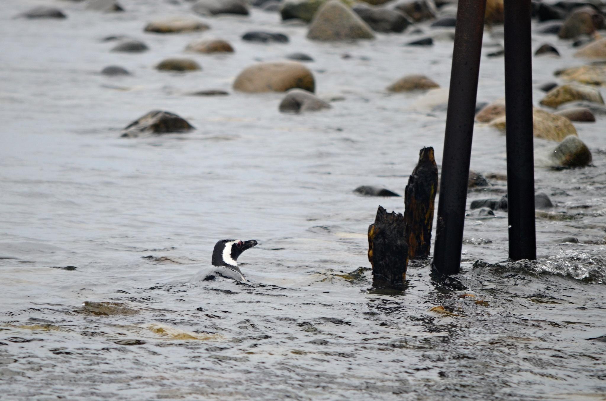 Plavající tučňák