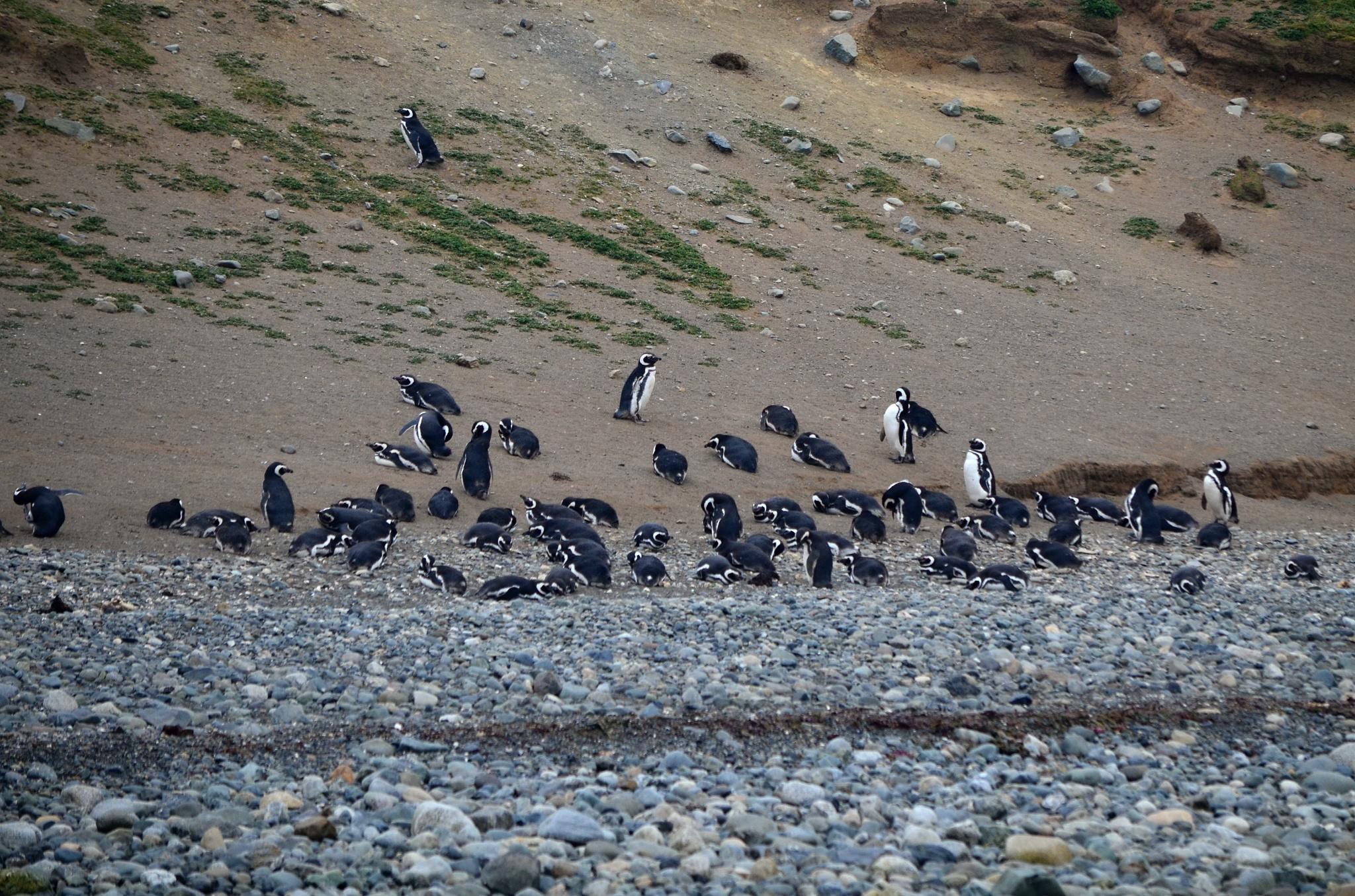 Odpočívající tučňáci po návratu z moře