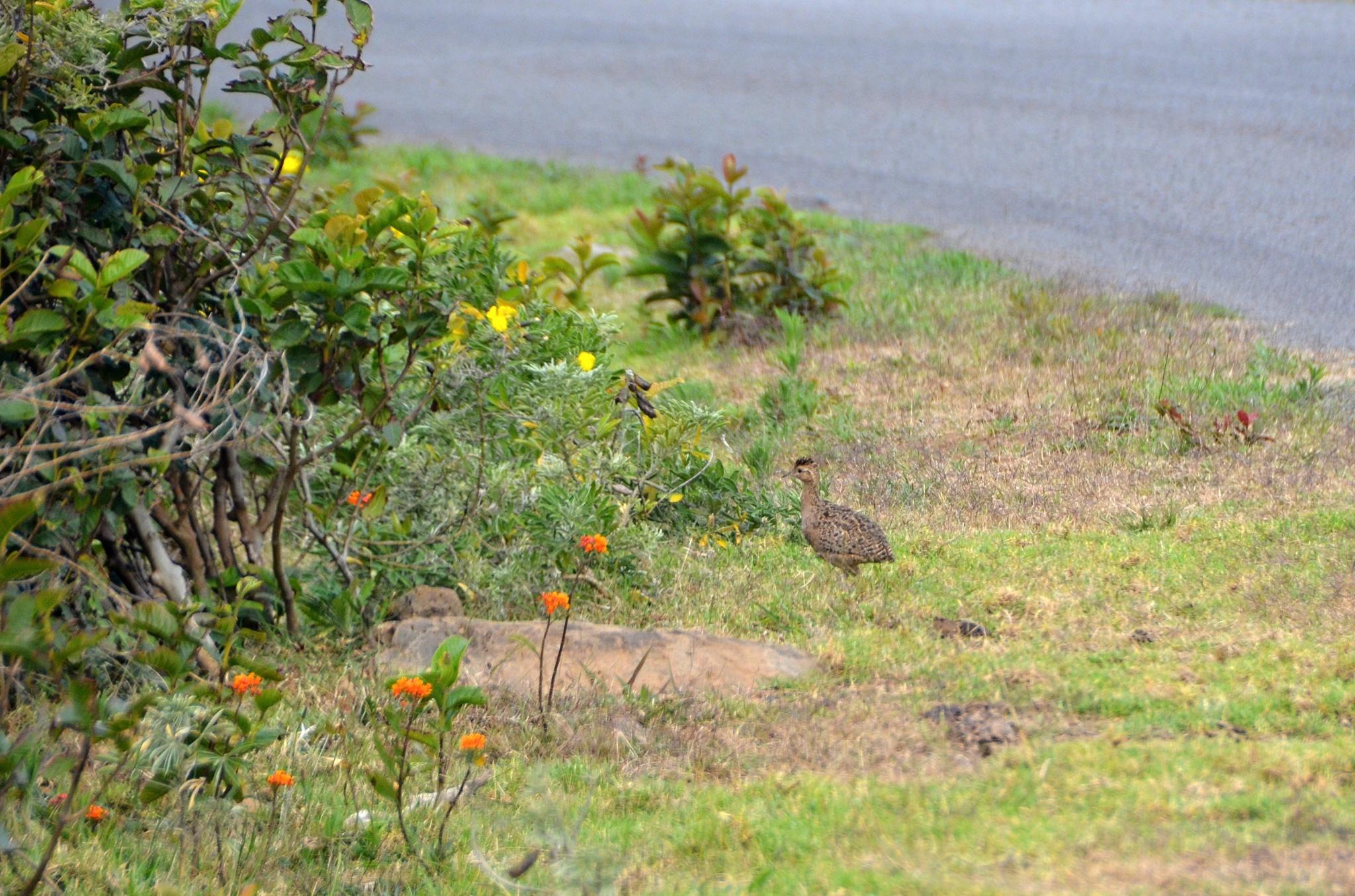 Vidíme rychle pobíhající koroptev Chilean Tinamou
