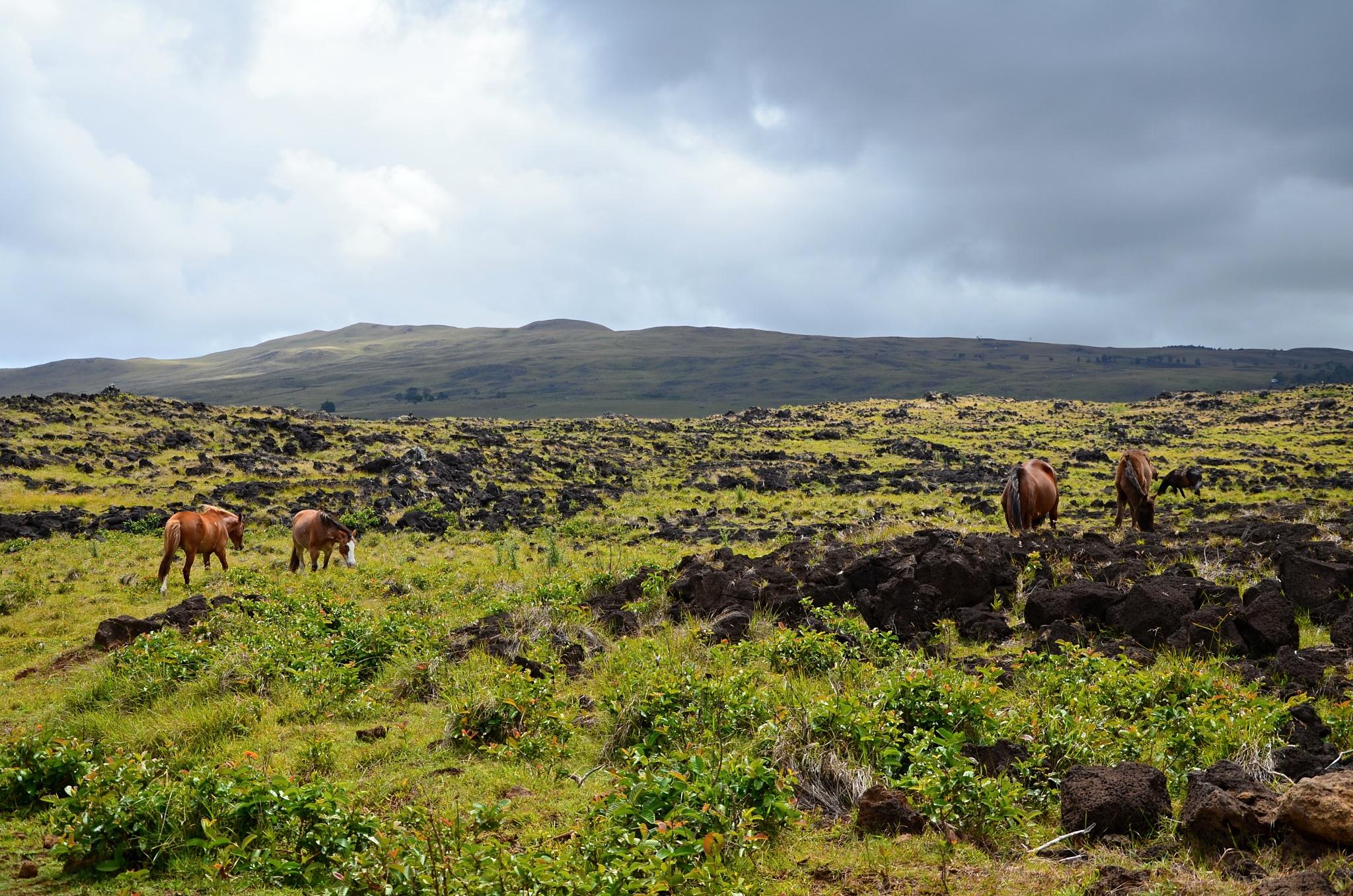 Divocí koně na ostrově