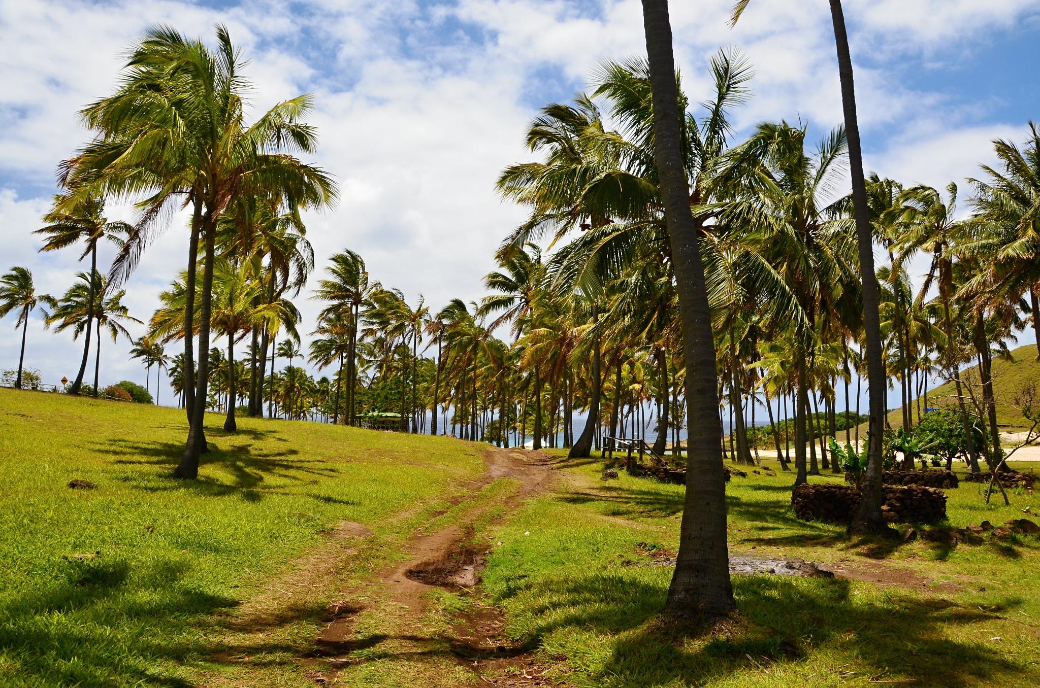 Palmový háj v zátoce Anakena