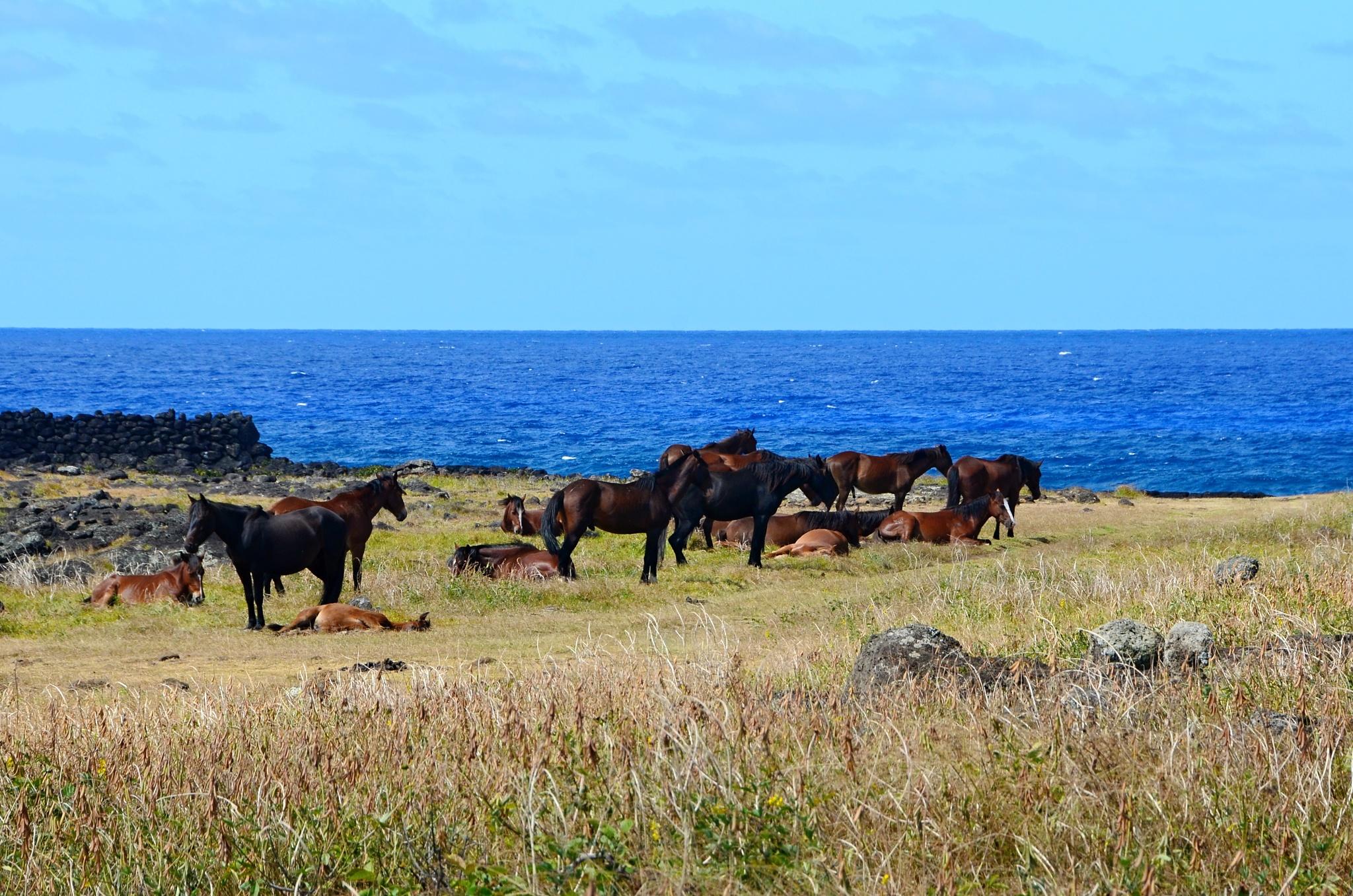 Stádo divokých koní