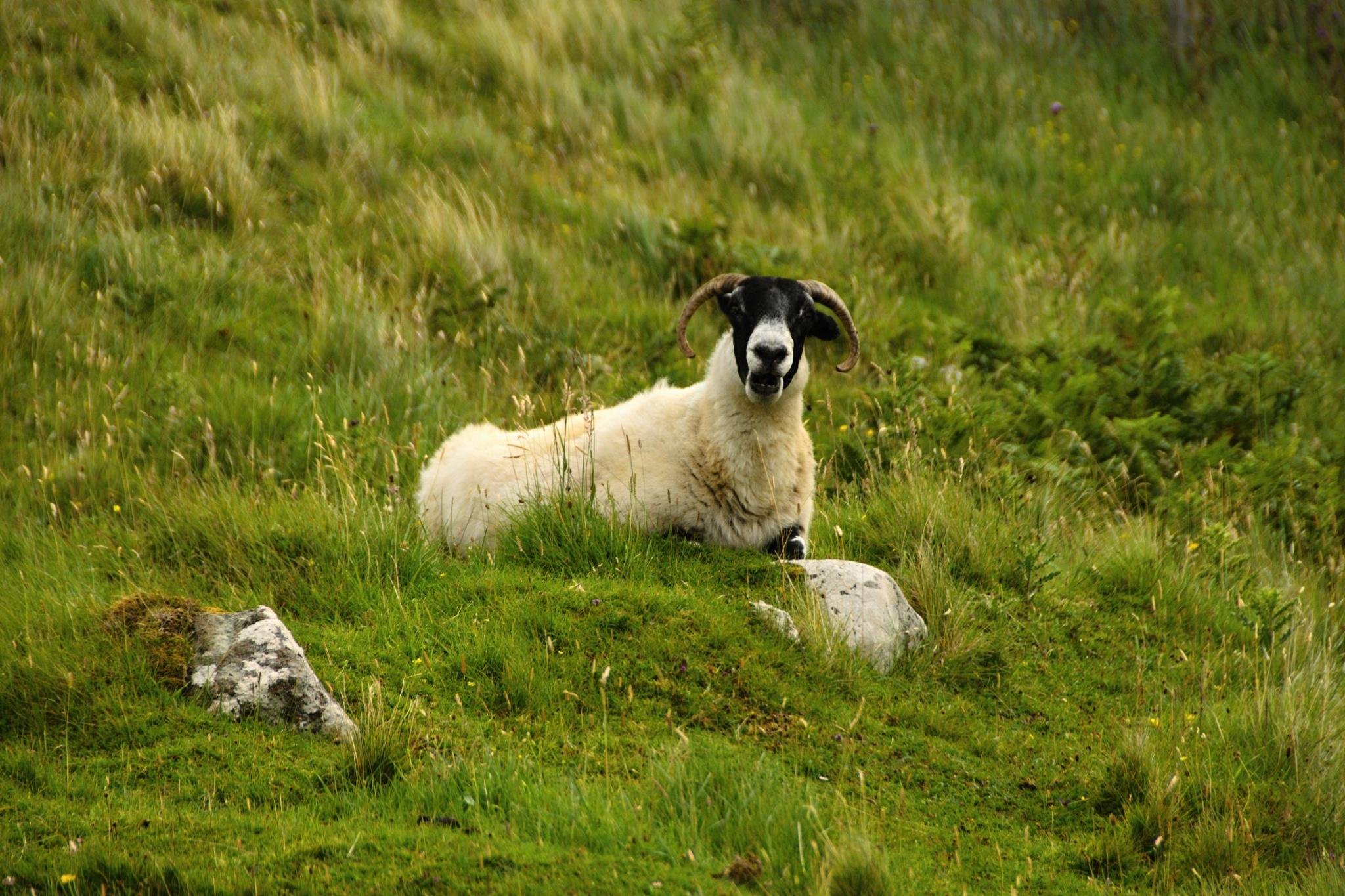 Zvědavá ovce