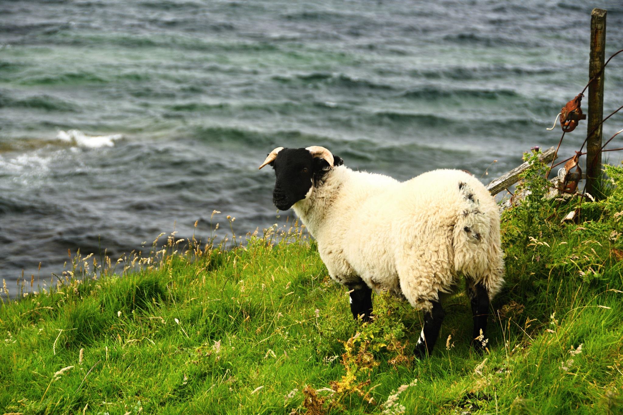 A další ovce