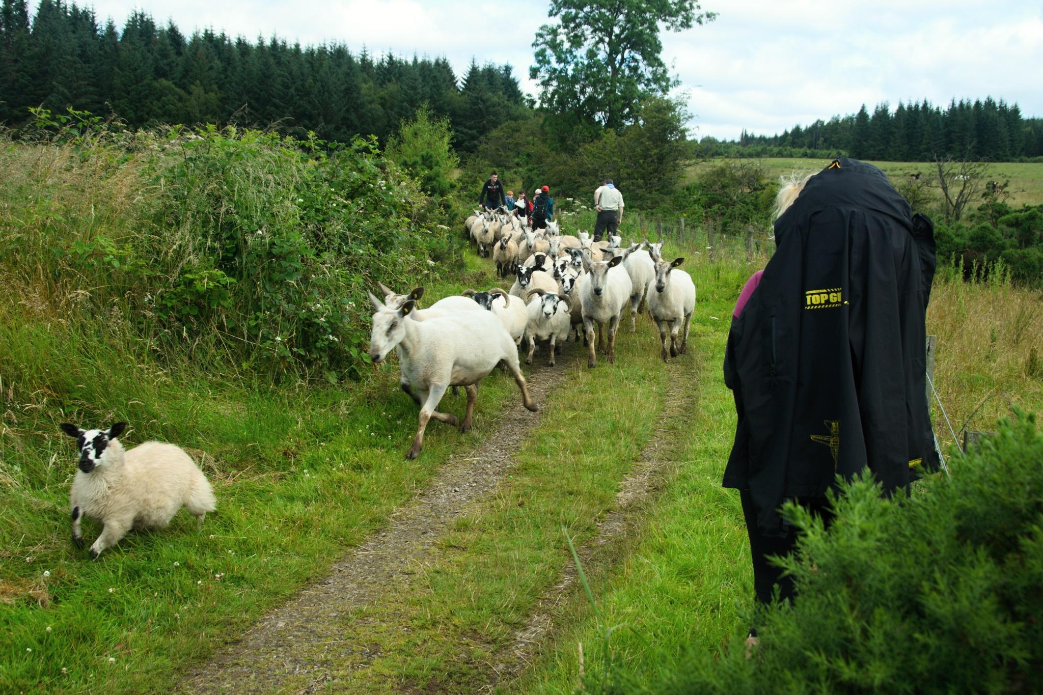 Ovce útočí na pokojné turisty