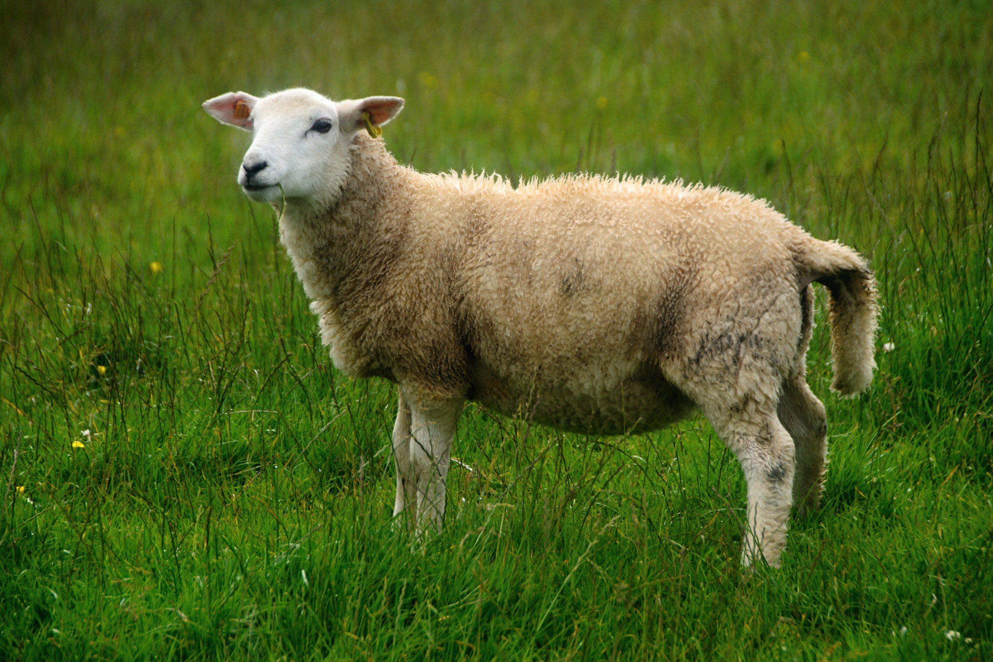Oblečená ovečka