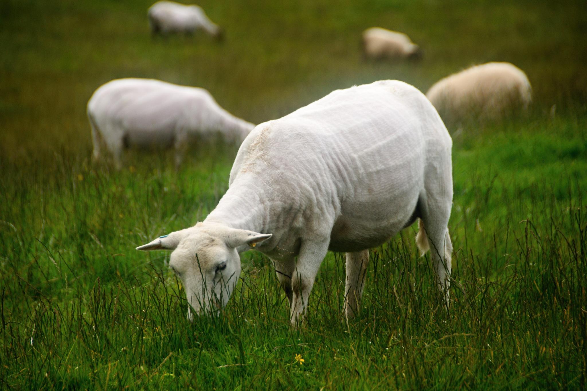A nahatá ovečka