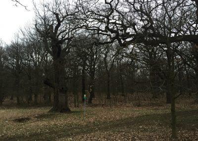 Mohutné staleté duby