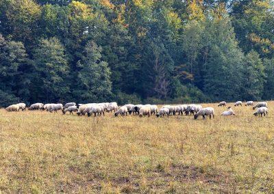 Ovce nějací pochodníci vážně nezajímají...